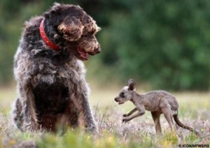 Kangaroo and dog
