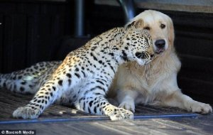 Leopard and dog